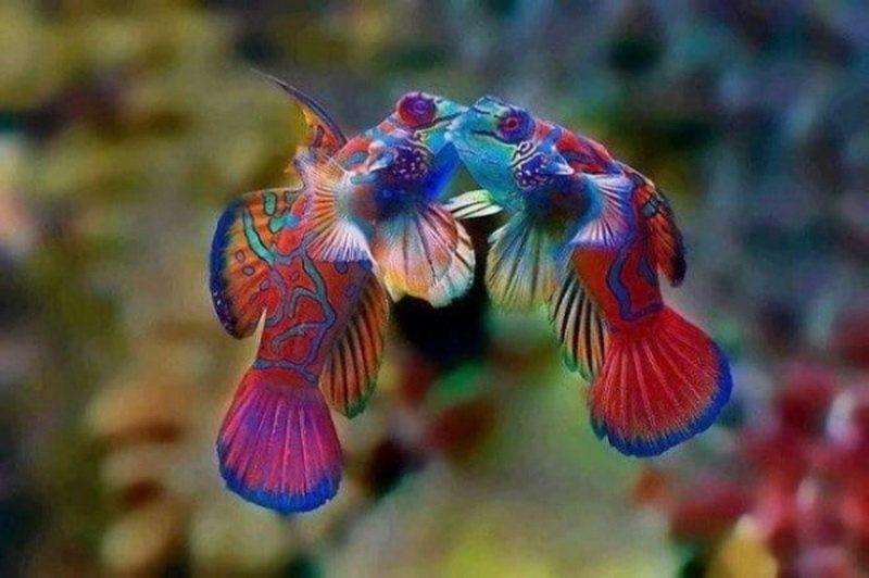 рыбки-мандаринки фото