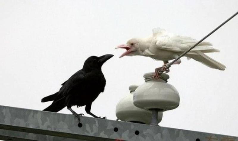 белая ворона фото