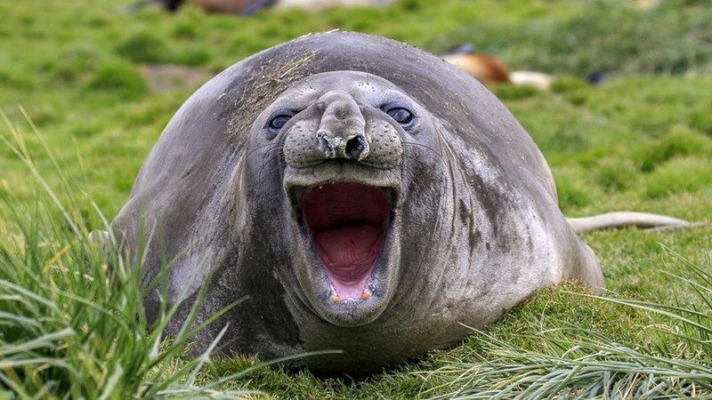 забавное фото тюленя