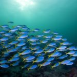 Голубой косяк рыб
