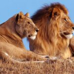 Лев и львица — фото