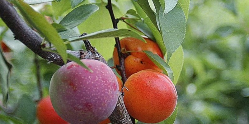 фото плоды дерева Сэма Ван Акена1