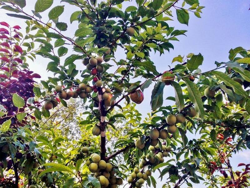 дерево 40 плодов фото