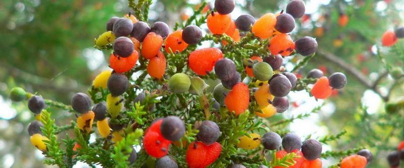 плоды дерева Сэма Ван Акена фото 2