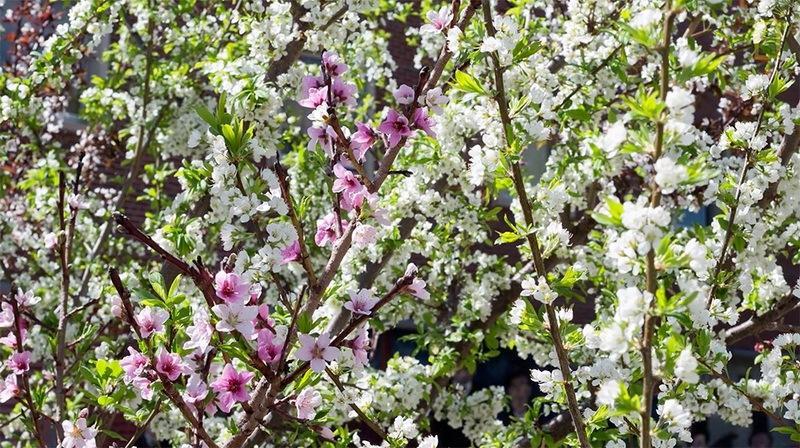 фото цветущее дерево 40 фруктов Сэма Ван Акена
