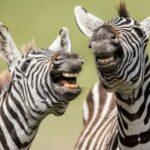 Две зебры — фото