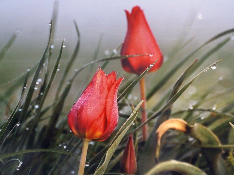 два тюльпана фото