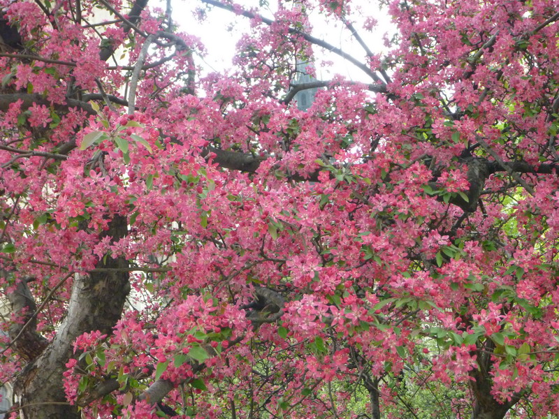цветущее дерево фото